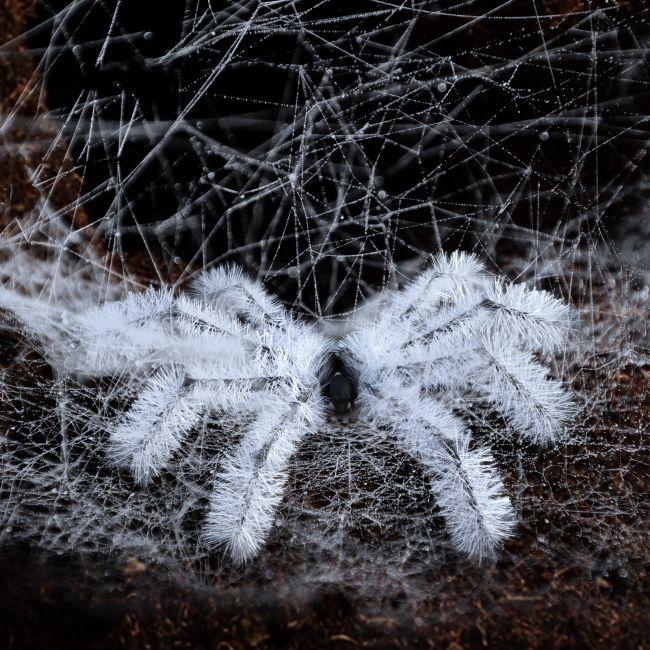spider-bristles-addon-for-g8f